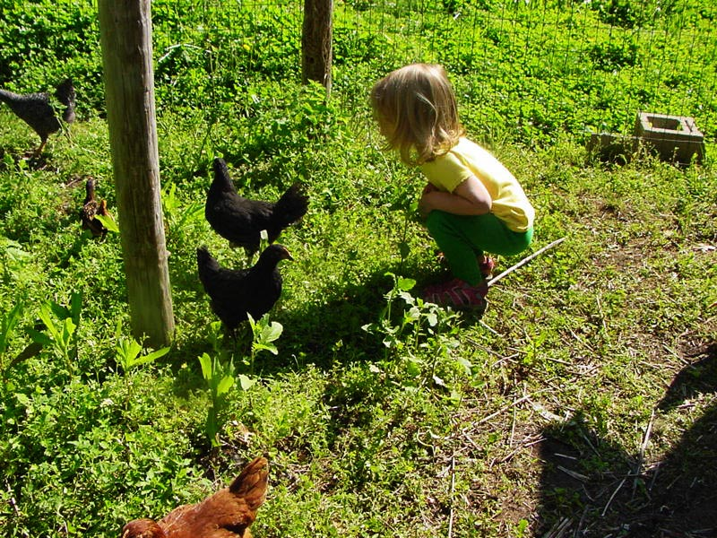 observing the chickens
